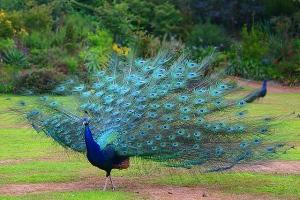 peacock_4[1]