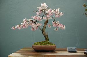Prunus x subhirtella, Bonsai, Informal upright style