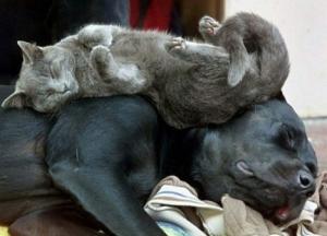cat_sleeping_on_dog-13054[1]