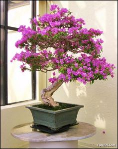 japanese_bonsai_trees_13[1]
