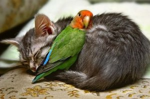 The-Love-Between-A-Bird-And-A-Cat---A-Good-Night-Sleep_large[1]
